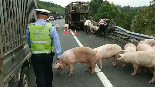 拉猪车爆胎侧翻,56头猪高速撒欢