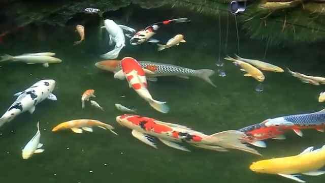 """中国""""锦鲤""""火了,但它是条日本鱼"""