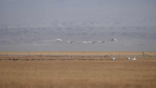 美哭!万鸟齐聚苏干湖草原,准备迁飞