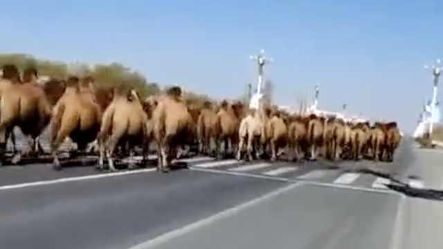 几十头骆驼组队公路狂奔,惊呆路人
