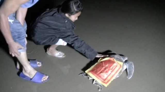 渔民误捕绿海龟,贴上红纸连夜放生