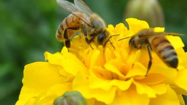 蜜蜂蛰人后为什么会死?