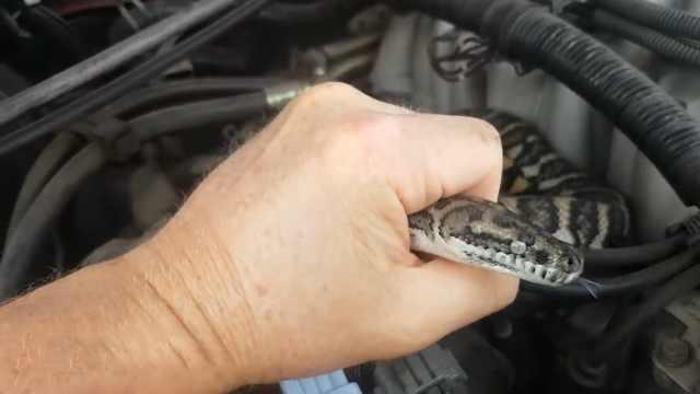 男子打开引擎盖,里面居然有一条蛇