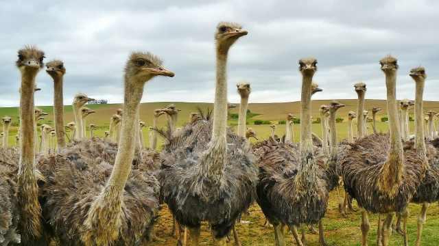 草原生物小百科之鸵鸟