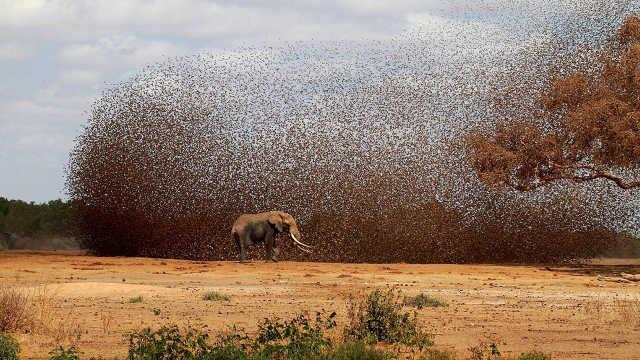一群大象和10万只鸟打架,谁会赢?