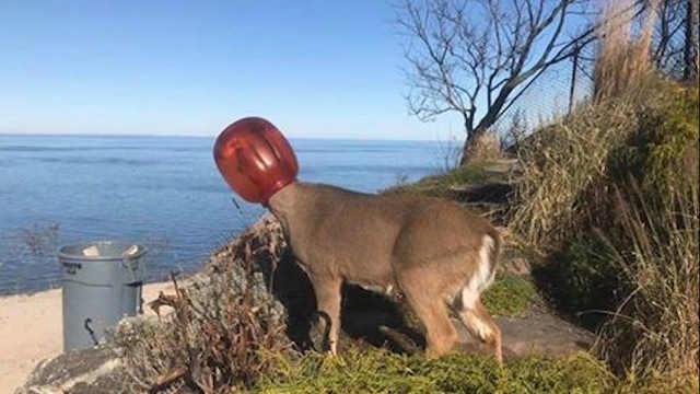 小鹿的头卡在塑料罐中数天后被解救