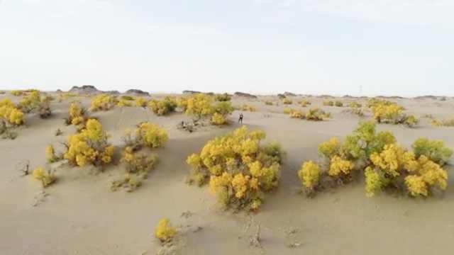 沙漠精灵!航拍世界海拔最高胡杨林