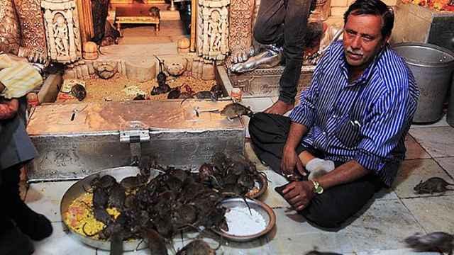 印度神庙,人们争相供奉老鼠