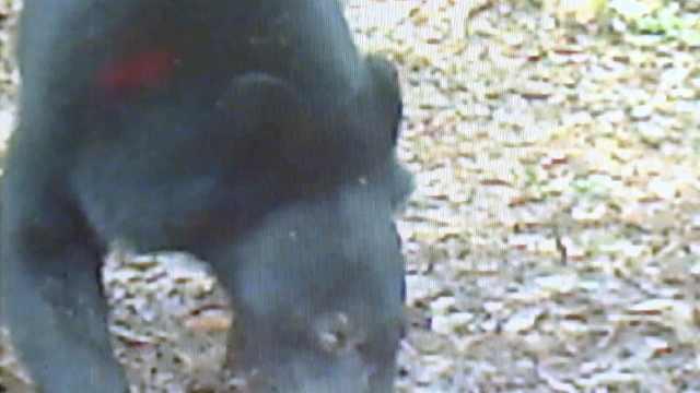 熊出没!福建一自然保护区拍到黑熊