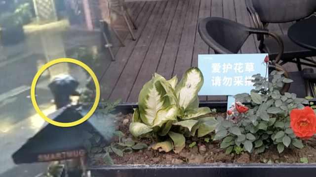 咖啡店种花屡被偷,逼得店员插假花