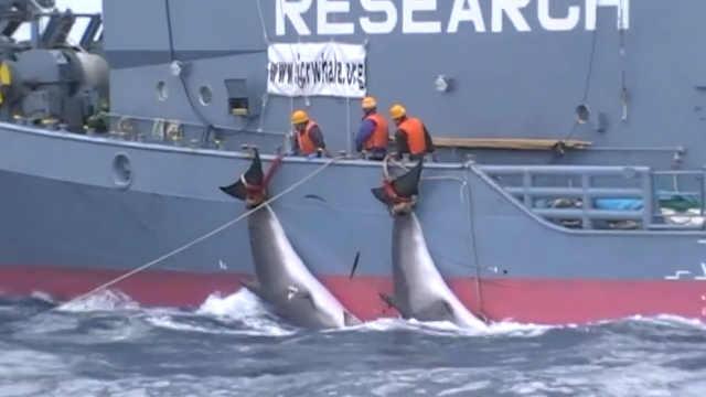隐瞒近十年的日本渔船血腥捕鲸视频