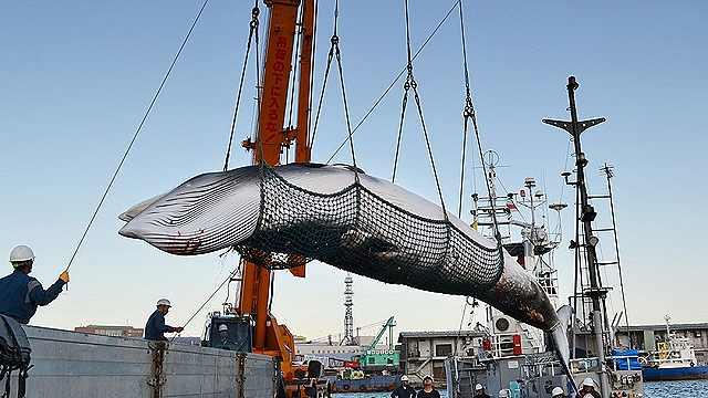 日本人如何看待400多年的捕鲸文化