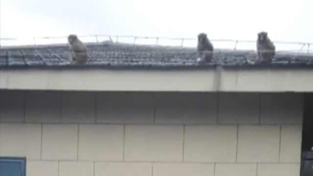4只野猴进城讨食,居民区飞檐走壁