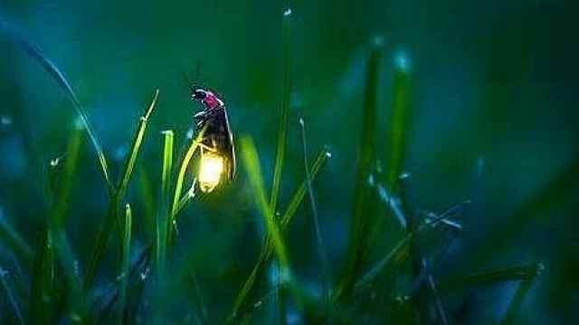 昆虫小百科之萤火虫