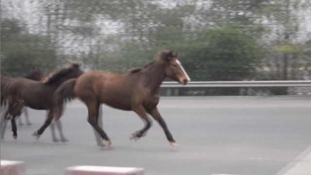 3匹马高速路上狂奔,吓坏路过司机