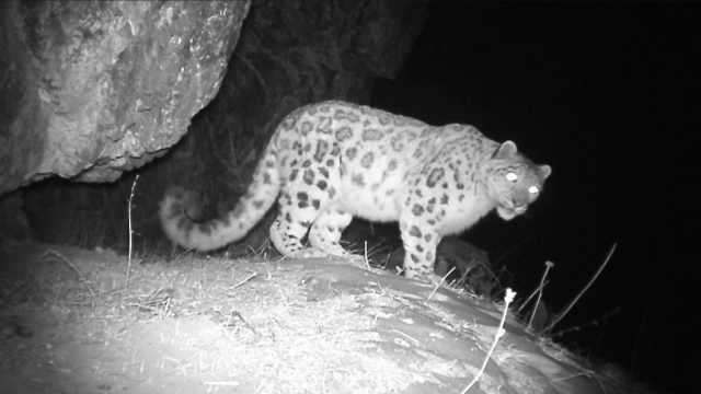 天山红外相机拍到雪豹:正确认数量