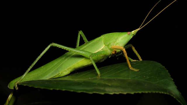 昆虫小百科之蚱蜢