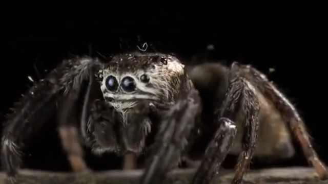 大自然的猎手之蜘蛛