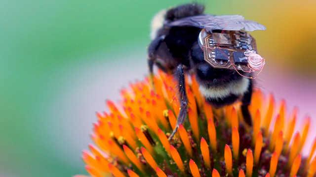 研究人员给大黄蜂背上背包收集数据