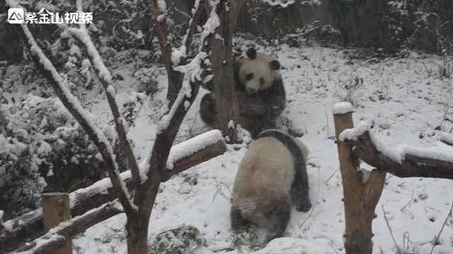 萌!大熊猫在雪中玩嗨了!