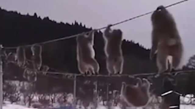 惊!日本猴子竟然排队走电线?