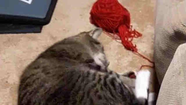 玩毛线被抓了个正着……猫都吓懵了