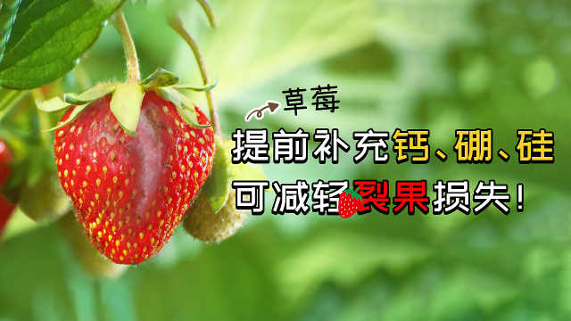 草莓裂果须提前补充钙、硼、硅