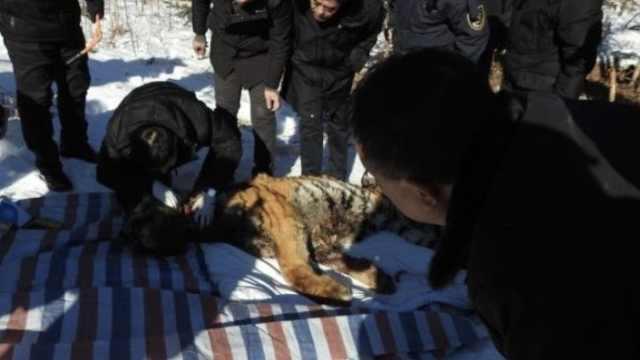野生东北虎受伤,专家雪地手术4小时