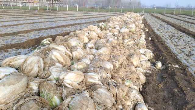 菜农50吨白菜烂地里:5分1斤没人要