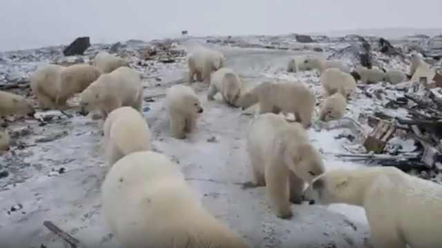 """52头北极熊""""入侵""""前苏联核试验场"""