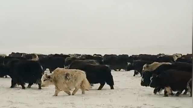 牲畜雪灾中受饿,邻村无偿开放牧场
