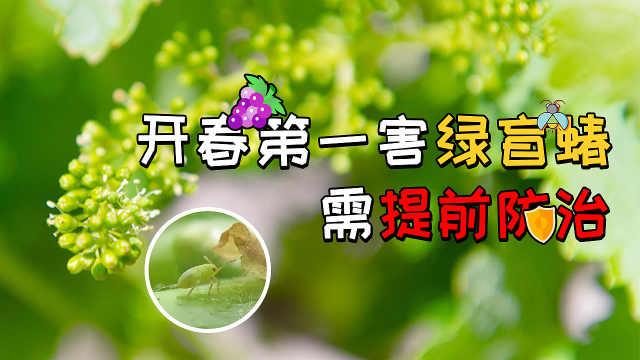 葡萄开春第一害绿盲蝽,需提前防治