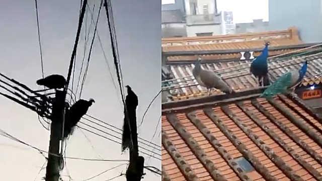 电线杆惊现3只孔雀,村民拍照围观