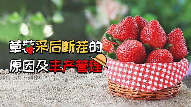 草莓采后断茬的原因及丰产管理