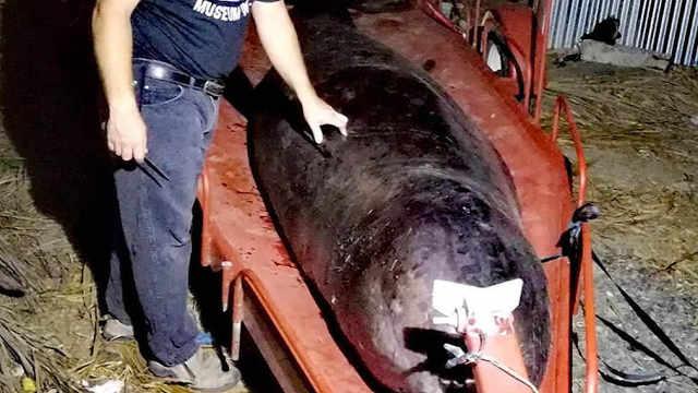 搁浅鲸鱼的体内有40公斤的塑料