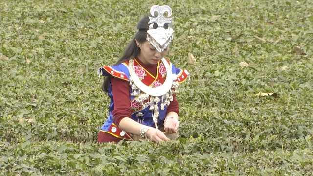 春天来了!重庆山头春茶采摘绿油油