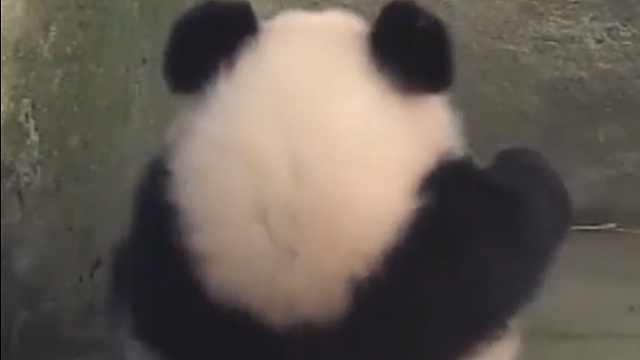 """客官,可爱的""""熊猫团""""了解一下"""