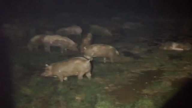 货车侧翻上百头猪被困,惨叫声连连