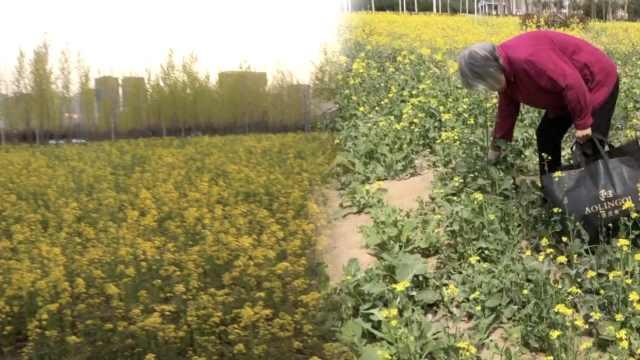 高校百亩油菜盛开,大妈钻花田狂摘