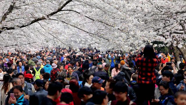 直播:花美事多?武汉高校春日赏樱