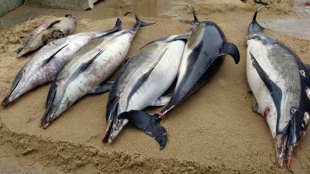 心碎!三月内千头海豚尸体冲上海岸