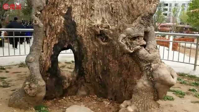 """河南鲁山有一棵6000岁的""""树神"""""""
