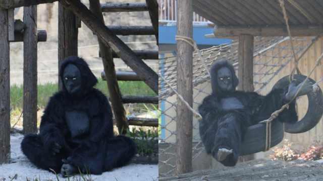动物园真人扮猩猩遭质疑,园方叫屈