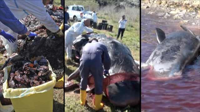 海滩冲上怀孕巨鲸,肚内藏44斤塑料