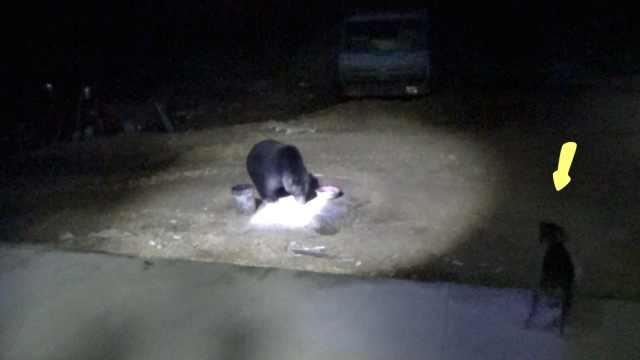 400斤黑熊每天来讨食,遭家犬怒吼