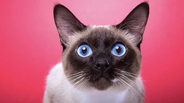 科学研究:猫其实能听懂自己的名字