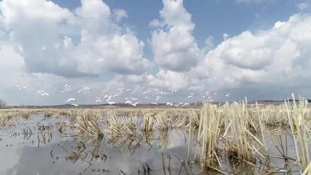 偶遇200野天鹅歇脚,摄影师拍下狂喜