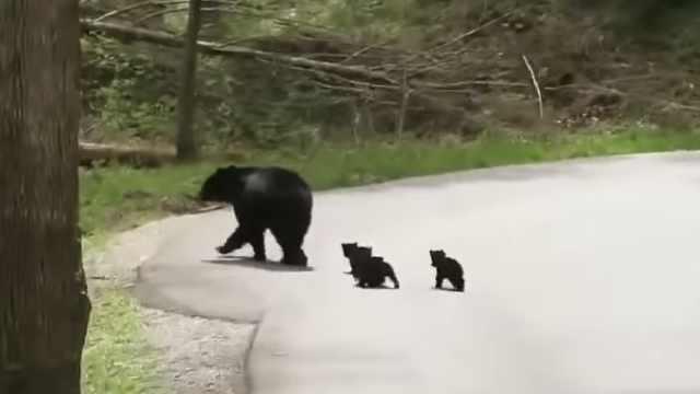 黑熊宝宝排队跟着熊妈过马路