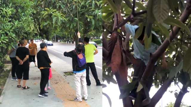 另类枇杷自由!市民拎袋爬景观树摘