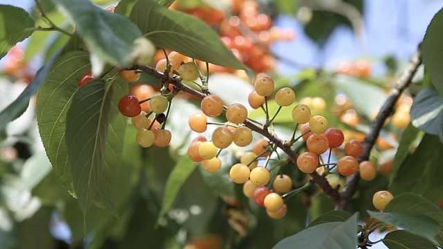 千亩樱桃引游客摘:村民家变农家乐